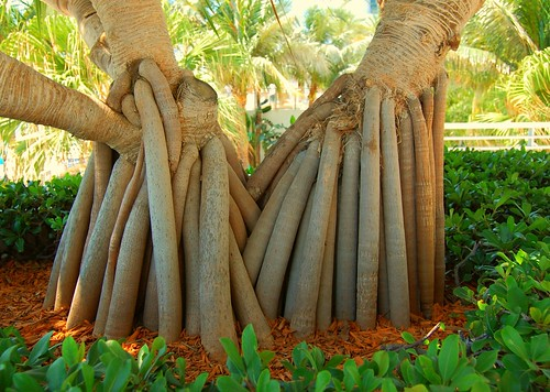 Pandanus Roots | by stilesathelake
