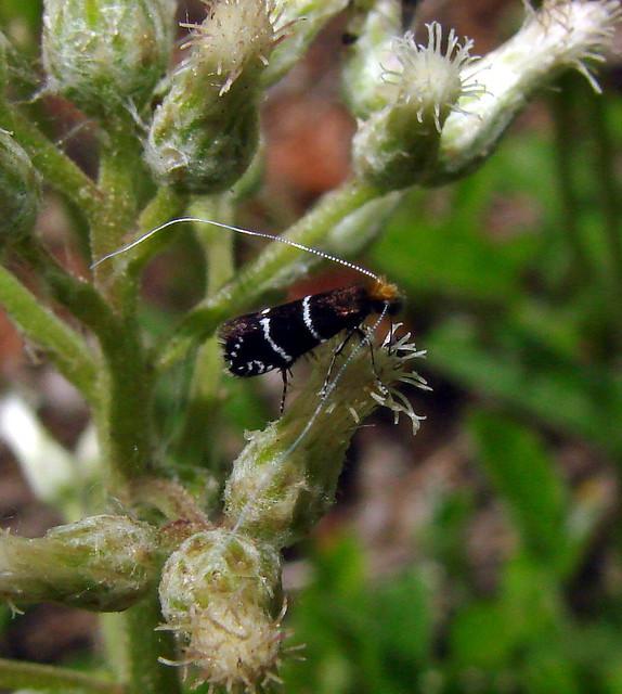 Yucca Moth Range Fairy Moth!!!   Also c...