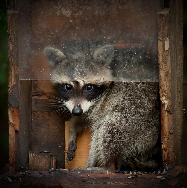 Raccoon Backyard Bandit - House Backyards