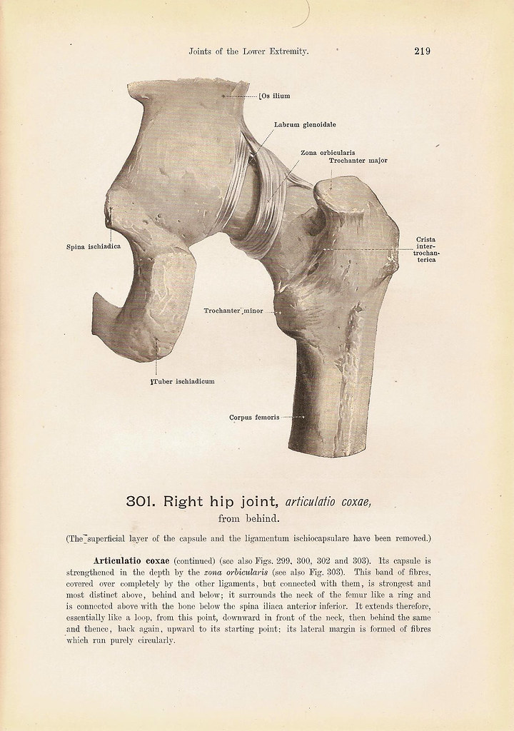 The Right HIP Joint From the Medial Side and From Behind B… | Flickr