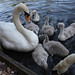 A  mute swan and its cygnets on the Heriot-Watt University lake.