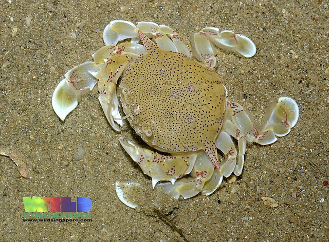 Spotted Moon Crab Ashtoret Lunaris More About This