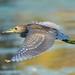 Immature Black-crowned Night Heron Flying!