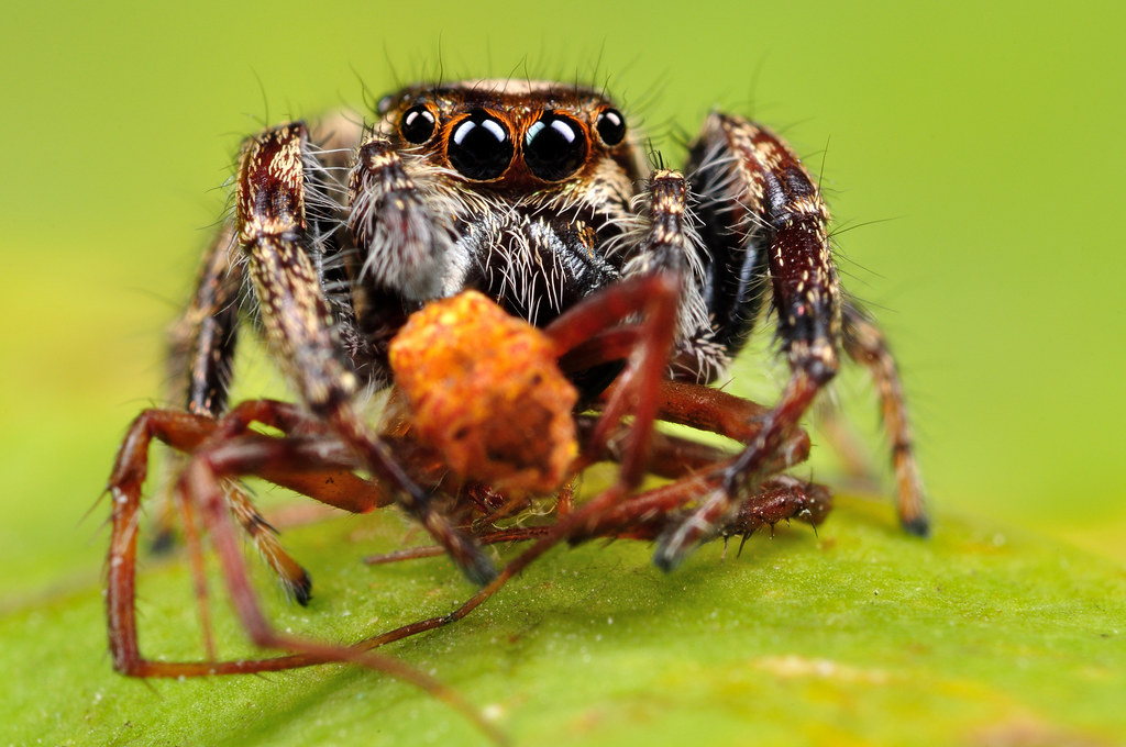 spiders vs insects Insects vs bugs what makes an insect a bug insects are those small, living creatures that belong to the arthropod phylum which is one of the most diverse.