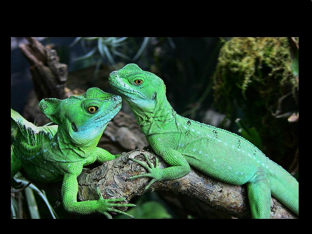 Kleine Grüne Leguane -  cute    -    Stirnlappenbasilisken, 72