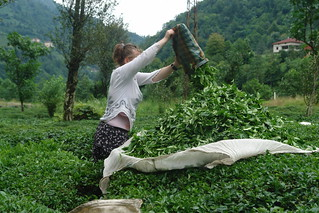 Tea picking in Hemshin | by CharlesFred