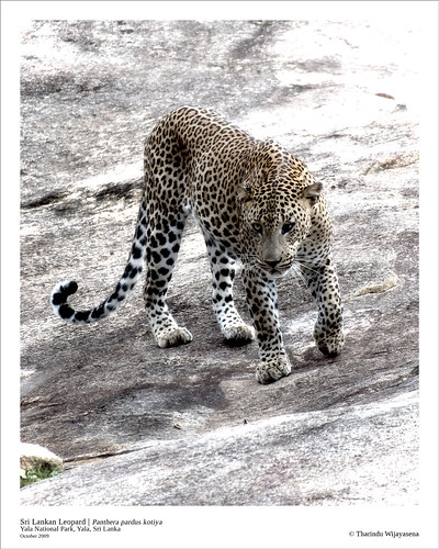 Leopards of Yala - October 2009 | by Tharindu 'T' Wijayasena