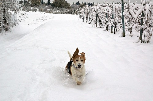 Snow Beagle | by Marco Bellucci