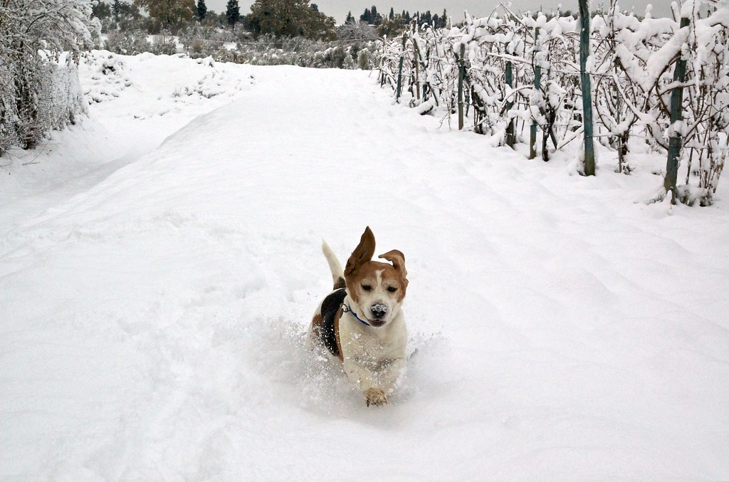 Image Result For Beagle Dogs For