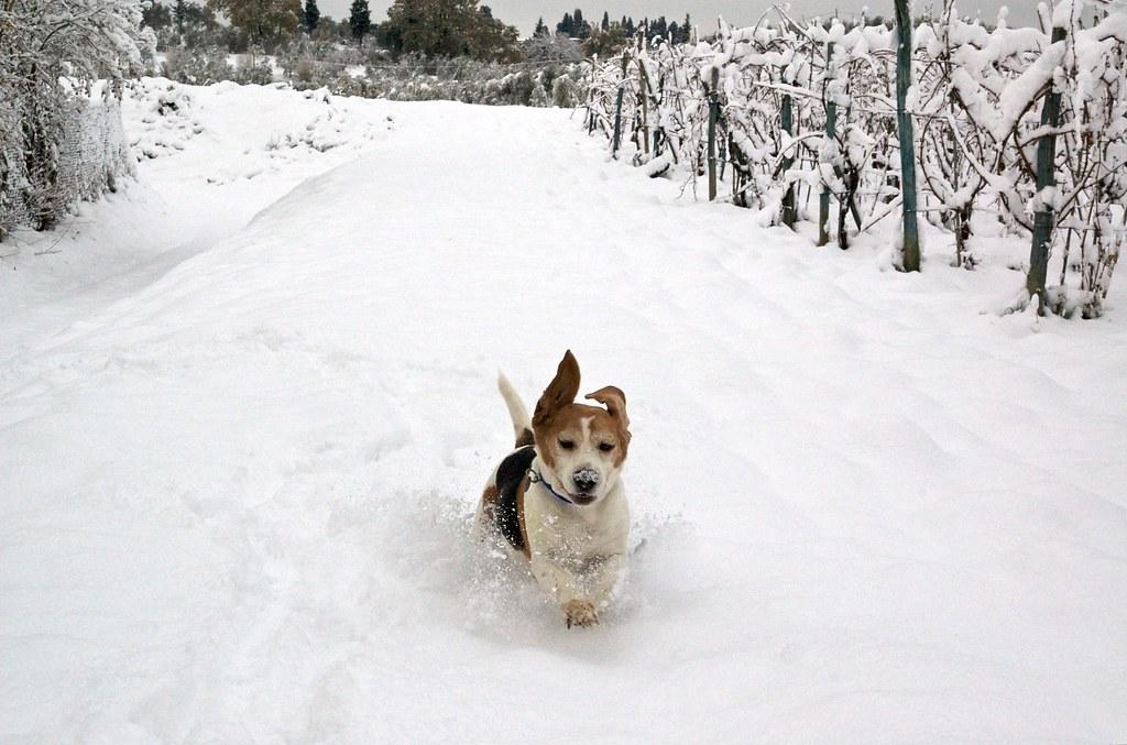 Snow beagle dog snow joyful christmas marco bellucci flickr - Keeping outdoor dog happy winter ...