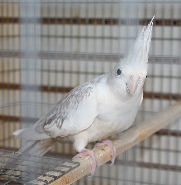 Whiteface Pearl Cockatiel Flickr - Photo Sharing...