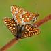 Marsh Fritillary - Euphydryas aurinia - mating
