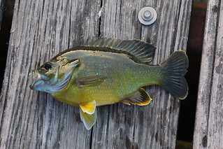 bluegill | by dentontaylor3