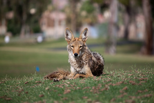 Urban Coyotes | by Dru Bloomfield - At Home in Scottsdale