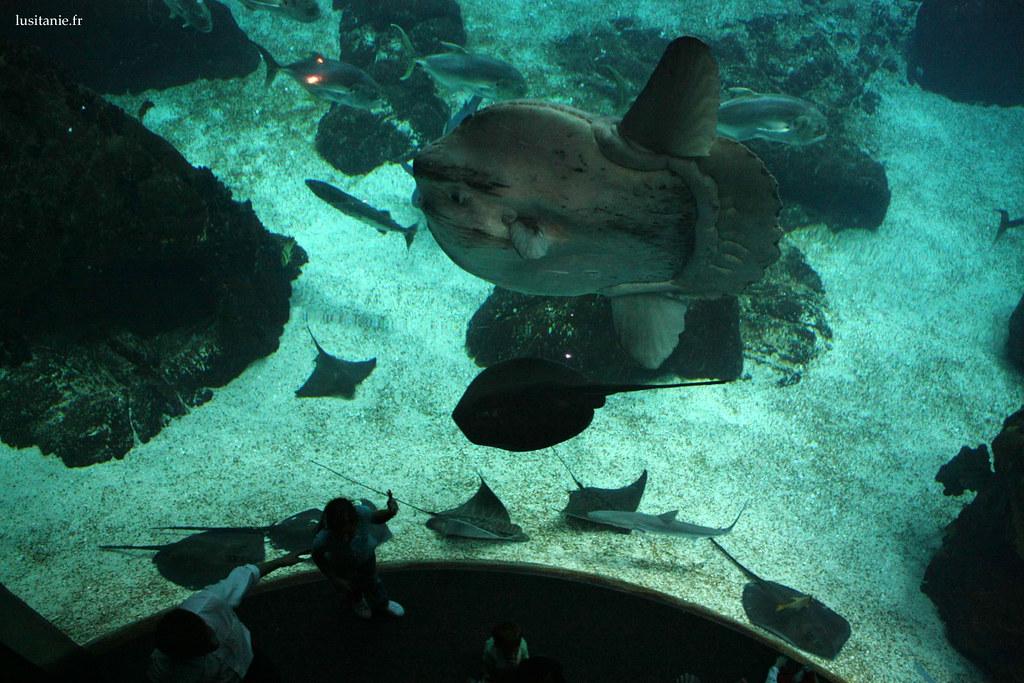 Le poisson lune est pour moi la star du Oceanario