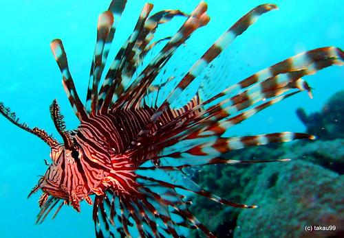 Red Lionfish Cebu Philippines Quot Momo Quot At Panglao Island