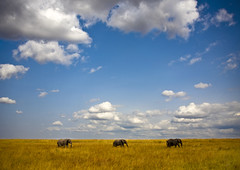 Three elephants in Masai Mara park - Kenya | by Eric Lafforgue