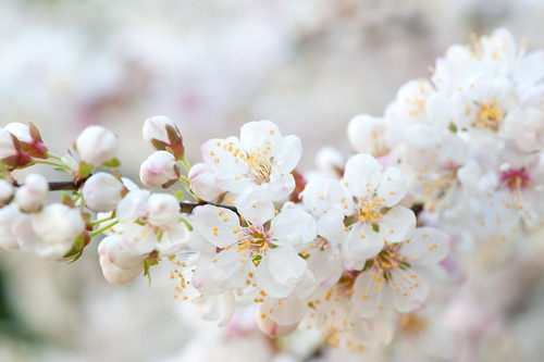 Make me a necklace of blossom | by bluemountainsmary