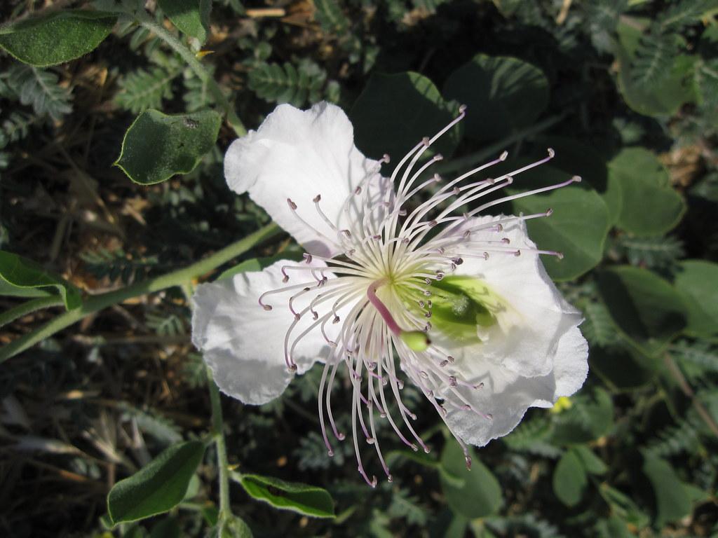 Closeup Of A Flowering Caper Bush Capparis Spinosa L