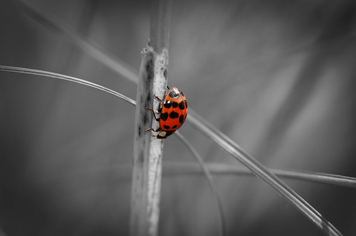 Spot color on a Ladybug | by RuffLife