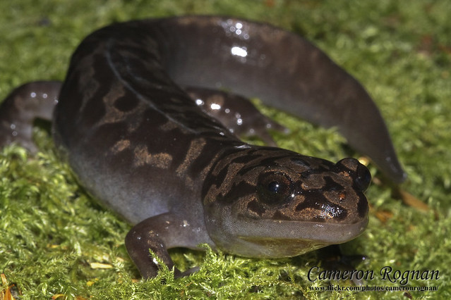 Pacific Giant Salamander | Cameron Rognan | Flickr