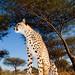 Wide Angle Cheetah_5603