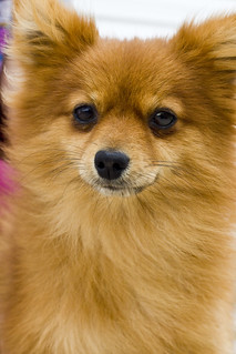 For Adoption:Pomeranian | by Crowder College Photo Project