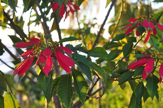Poinsettia | by yougrowgirl