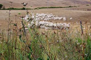 sheep | by catharine.amato