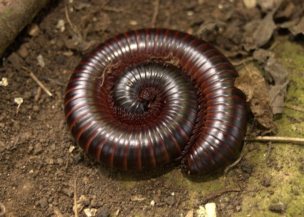 Millipedes: Basic Information, 8 Fascinating Facts & Millipede Control