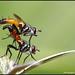 تزاوج للحشرات - Mating insects