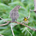 Common Yellowthroat with Juvenile Cowbird 3