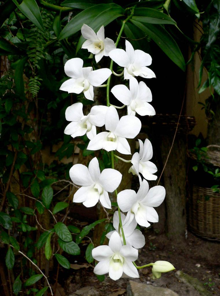 gratis  sprutsugen orkide thai