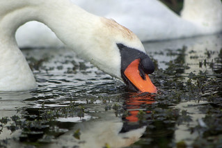 Swan | by The Hungry Cyclist