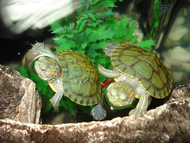 R Turtles Good Pets Red ears turtles   Dim...