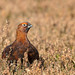 Red Grouse - Male - 1