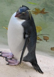 Penguin with eyebrows, London Zoo | by Pics_by_L