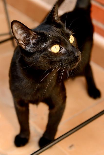 Selva, gatita Pantera guapa, estilizada y divertida esterilizada, nacida en Mayo´16, en adopción. Valencia. ADOPTADA. 32832609302_b95fd0bedf_z