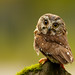 Northern Saw-Whet Owl Back