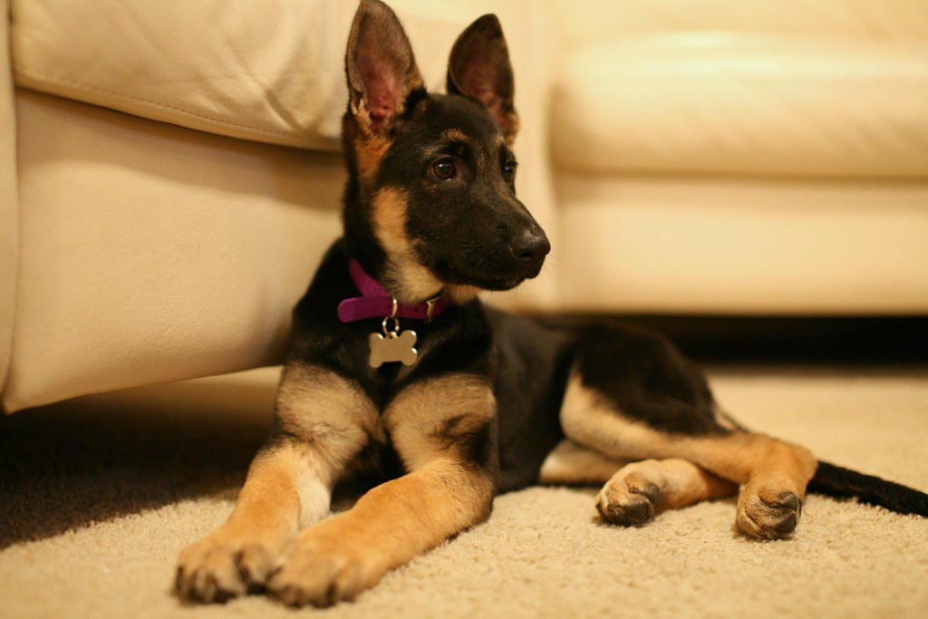 German Shepherd Temperament Watchful