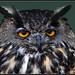 European eagle owl in the valley (bubo bubo)