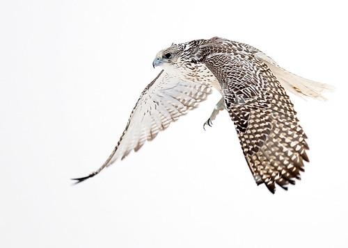 flying falcon drawing - 500×357