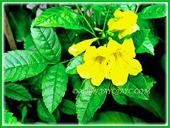 Captivating Tecoma stans (Yellow Bells,Yellow Trumpetbush, Yellow Elder) with gorgeous yellow flowers, 19 Nov 2013