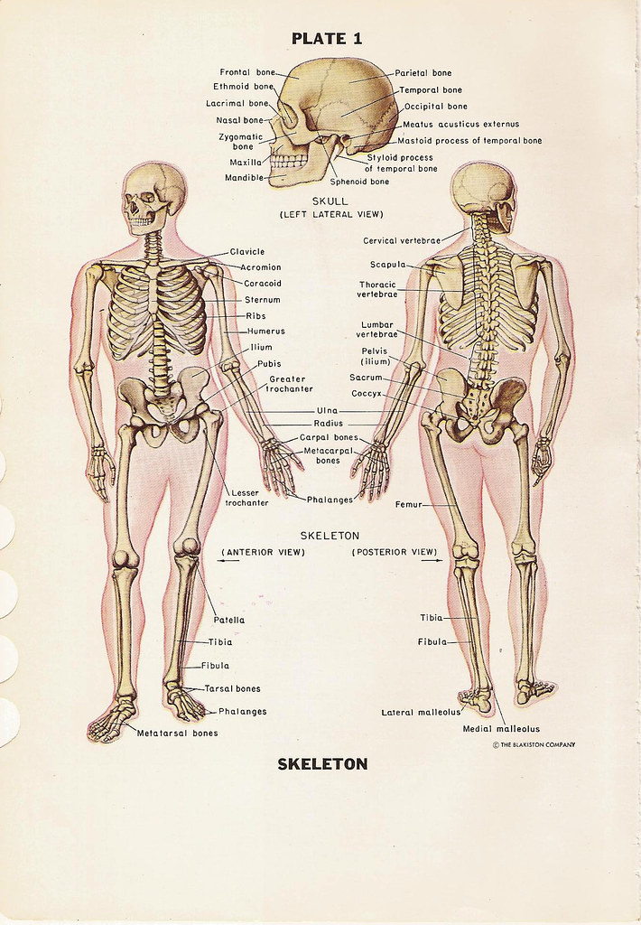 The Human Skeleton Anterior And Posterior Views And Skull Flickr