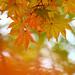 momiji foliage