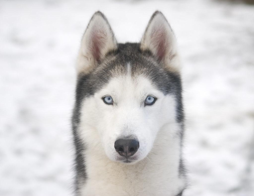 Image Result For Siberian Husky Dog