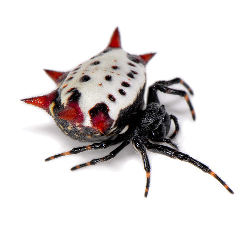 Gasteracantha cancriformis - spiny backed orbweaver | by Sam Fraser-Smith