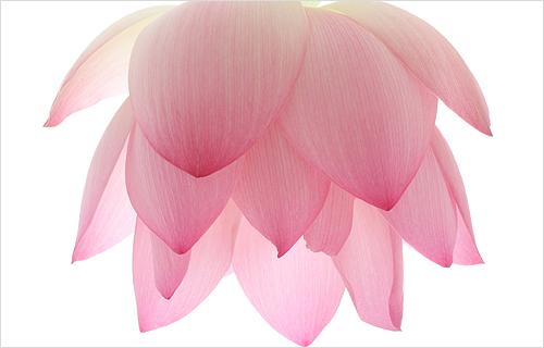 Lotus Flower Petal Img6425 Red Pink Lotus Flower Peta Flickr