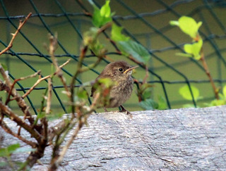 House Wren fledgling | by Laura Erickson