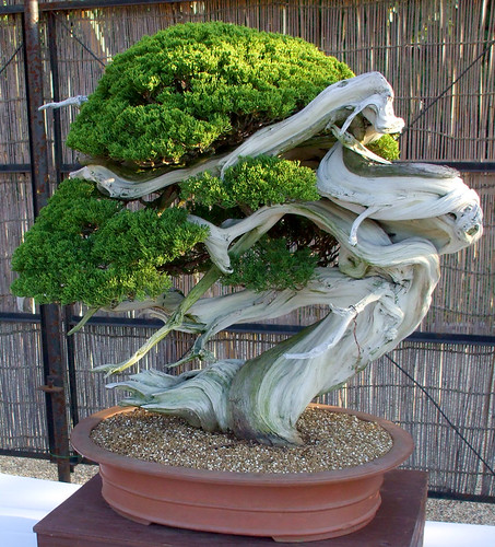 crazy bonsai tree this is the coolest tree ever ever